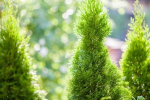 Best Leyland cypress alternatives