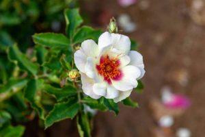 Bull's Eye Rose