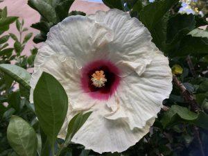 Honeymoon White Eye Hibiscus