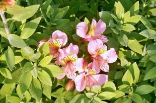 How Do I Get Rid of Alstroemeria