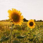How Late Can You Plant Sunflowers? - Things To Consider