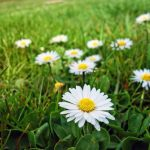 How Does Bellis Perennis Spread? - How To Stop It?