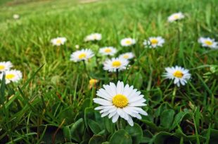 How does Bellis perennis spread? How to stop it from spreading?