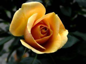 Irish Crème Rose