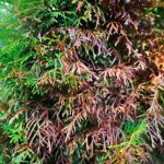 Leyland Cypress Needle Blight - Causes & Treatment