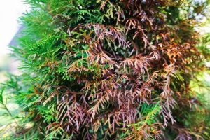 Leyland cypress needle blight causes & treatment