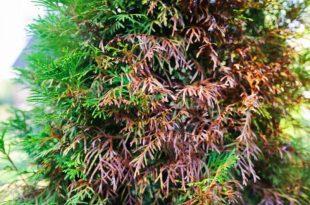 Leyland cypress needle blight causes & treatment