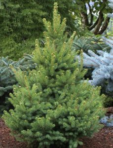 North Star Dwarf White Spruce