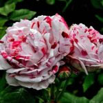 6 Best Unusual Colored Roses – Our Favorites
