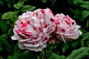 Variegata Di Bologna italian rose