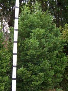 Variegated elkhorn cedar