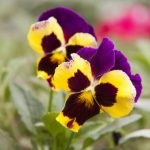 What To Do With Pansies In The Summer? - 6 Useful Tips
