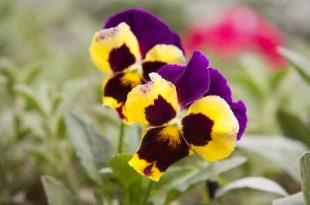 What to do with Pansies in the summer