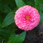 6 Pests That Could Be Eating Your Zinnias