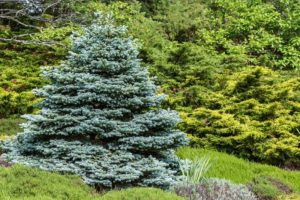 blue Colorado spruce