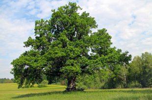 Black bugs on oak tree