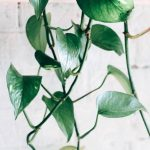 How To Propagate Scindapsus? - Guide