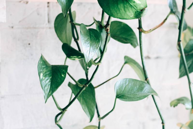 How to Propagate Scindapsus