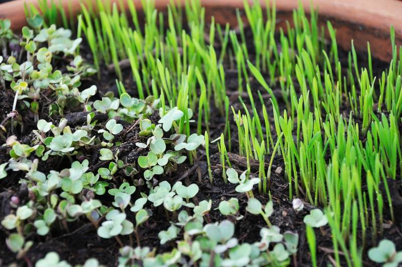 Is spraying microgreens with hydrogen peroxide a good idea