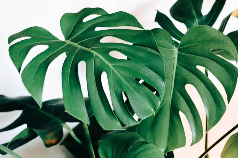 Monstera not splitting causes and treatment