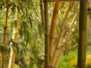 why is my garden bamboo dying