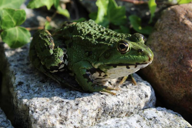 Causes of frogs in garden