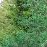Green Giant vs. Emerald Green Arborvitae - Differences