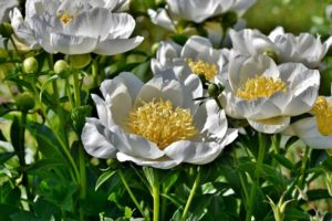 How to care about peonies in fall & winter