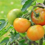 Tomatoes Keep Falling Over - 6 Reasons