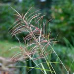 7 Reasons For Pink Muhly Grass Not Blooming
