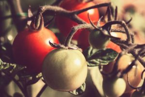 What causes the tomatoes to keep falling over