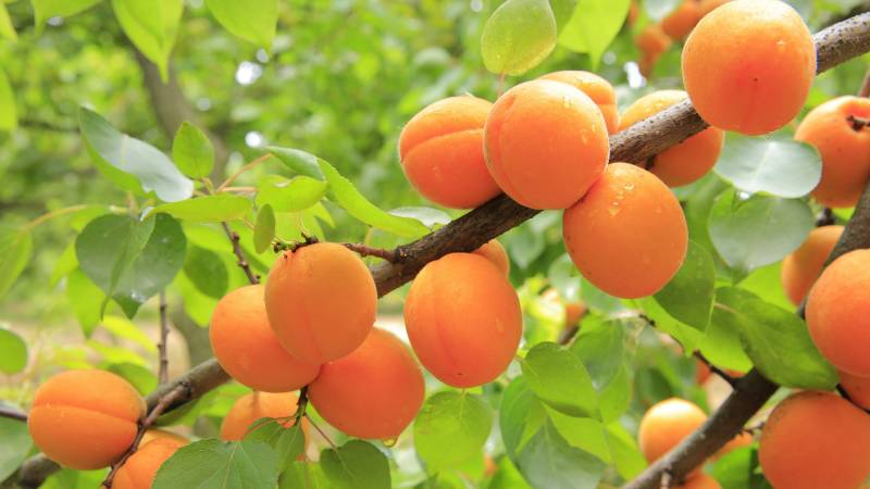 Apricot is a good fruit tree for alkaline soil