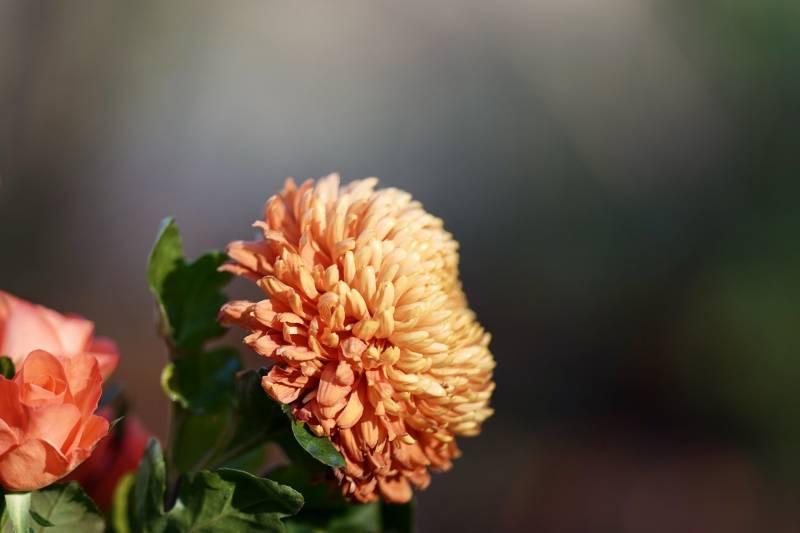 Chrysanthemum Are Flowers That Represent Sadness