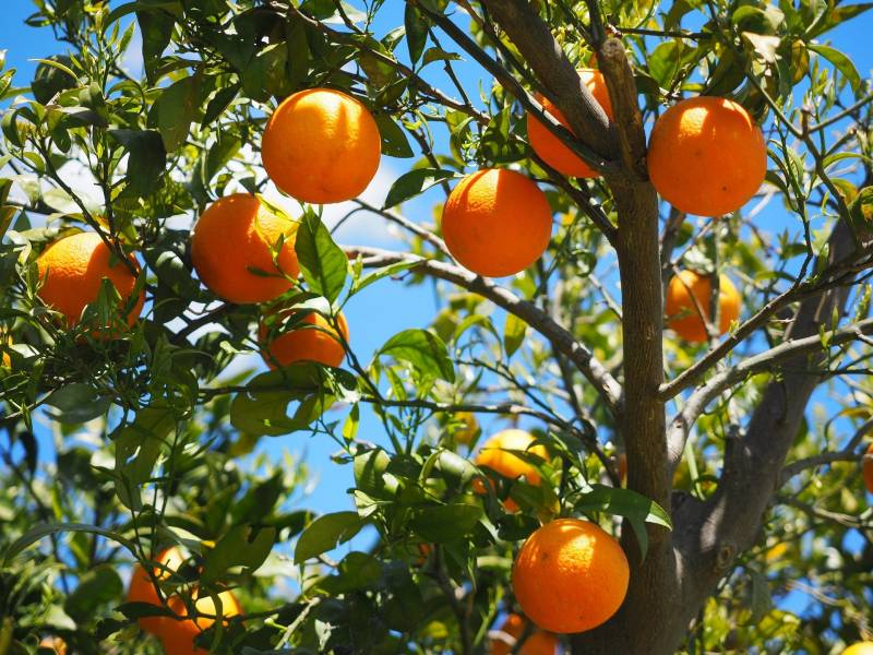 Citrus is a good fruit tree for alkaline soil
