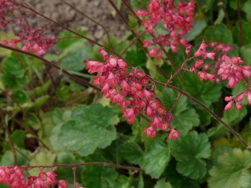 Coral Bells Along The Fence Line