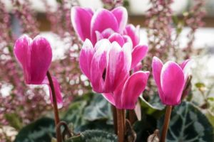 Cyclamens Are Flowers That Represent Sadness