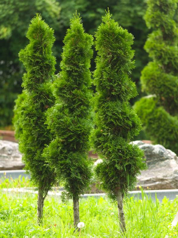 Growing Arborvitae Along The Fence Line