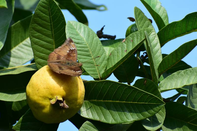 Guava is a good fruit tree for alkaline soil