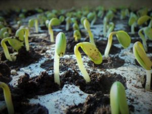 How big should seedlings be before transplanting