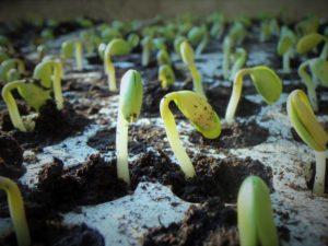How big should seedlings be before transplanting