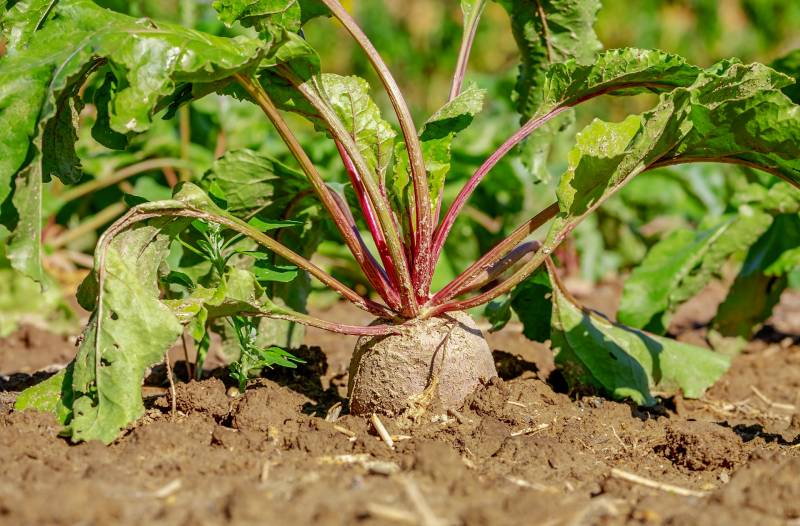 How to Grow Beets from Tops
