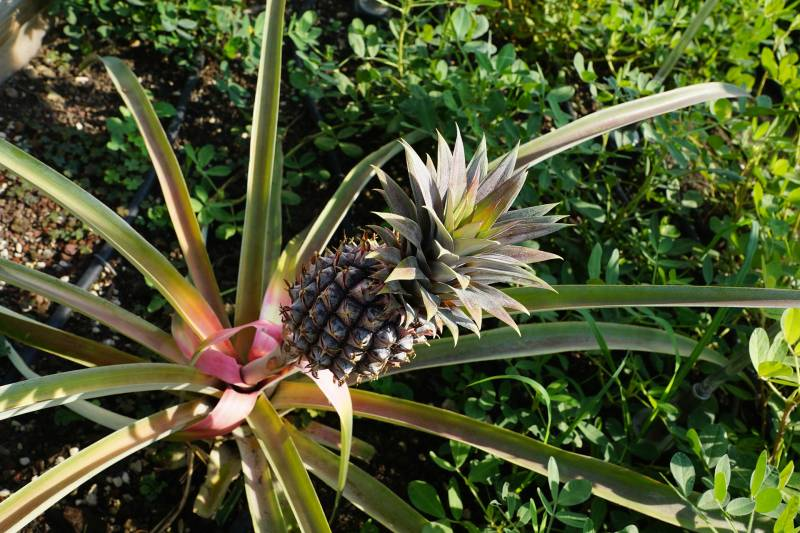 How to Replant a Pineapple Plant Guide