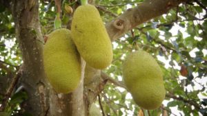Jackfruit is a fruit with many seeds