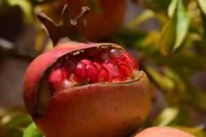 Pomegranate is a fruit with many seeds