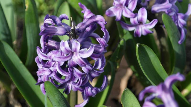 Purple Hyacinth Are Flowers That Represent Sadness