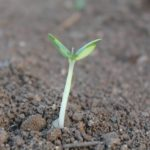 How Big Should Seedlings Be Before Transplanting?