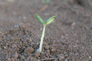 Seedlings size before transplanting