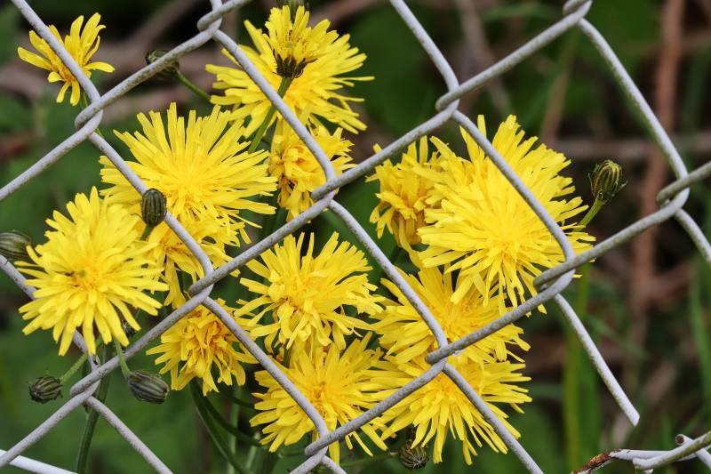 What to plant along your fence line