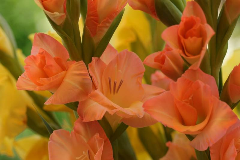When and How to Cut Gladiolus Back