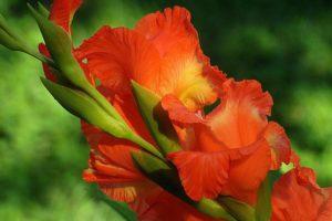 Why Cut Back Gladiolus